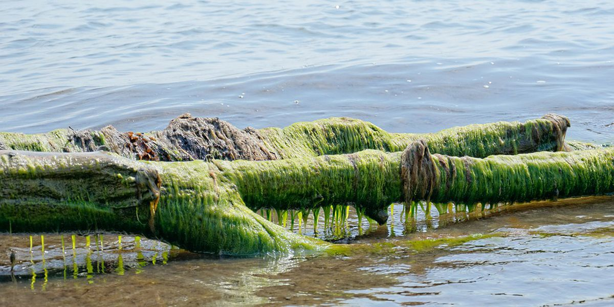 Harmful algae already detected in Lake Erie and it's expected to be a bad year