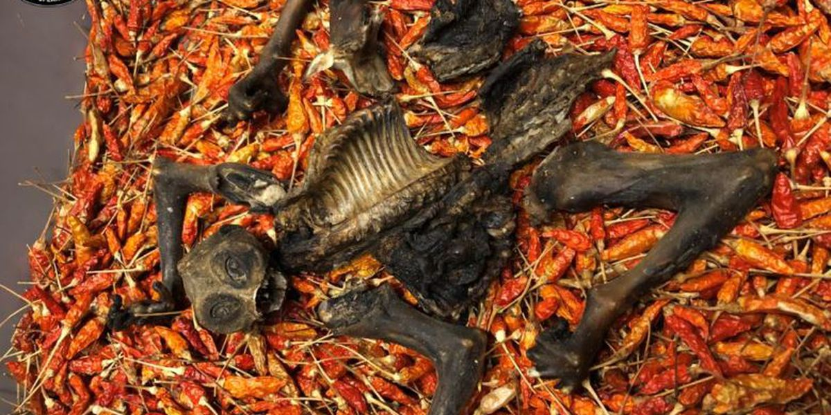 Endangered primate remains found in shipment of dried chili peppers