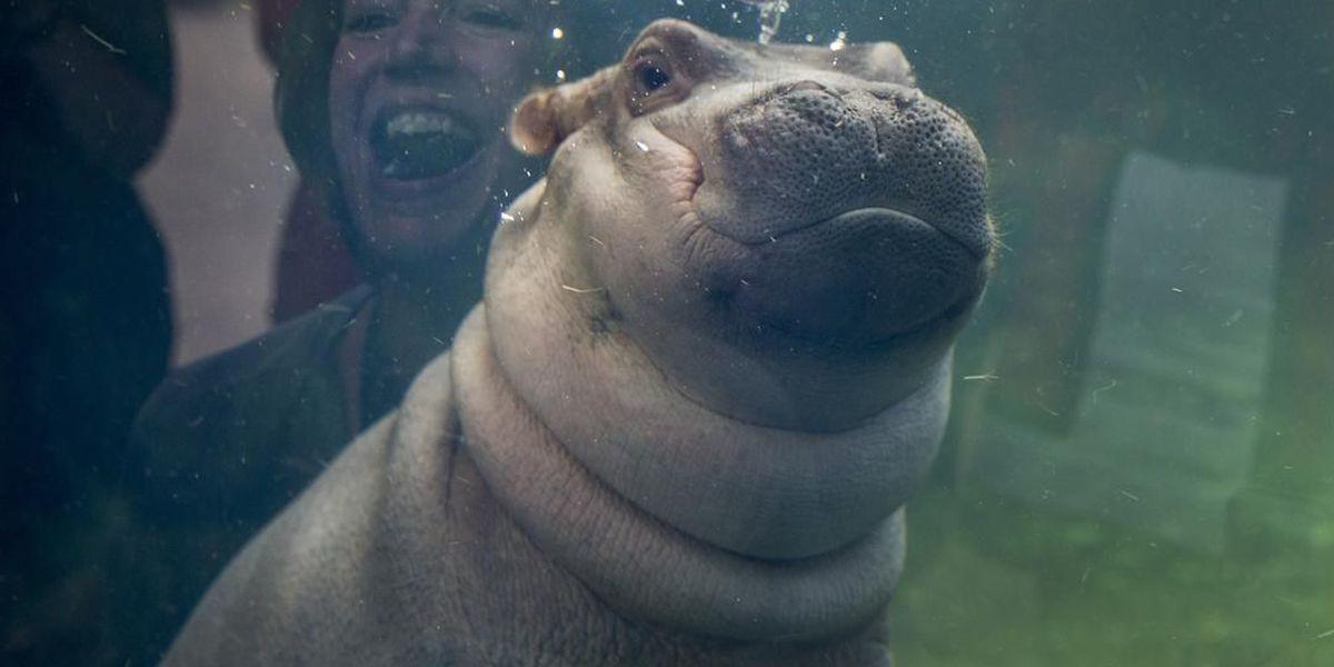 Cincinnati Zoo wants you to come celebrate Fiona's birthday Saturday