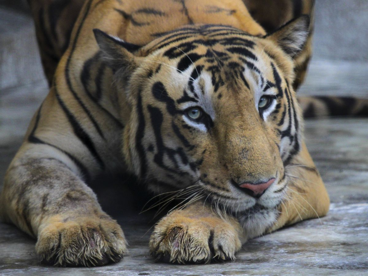 Cincinnati man pleads guilty after buying tiger skin for $3K
