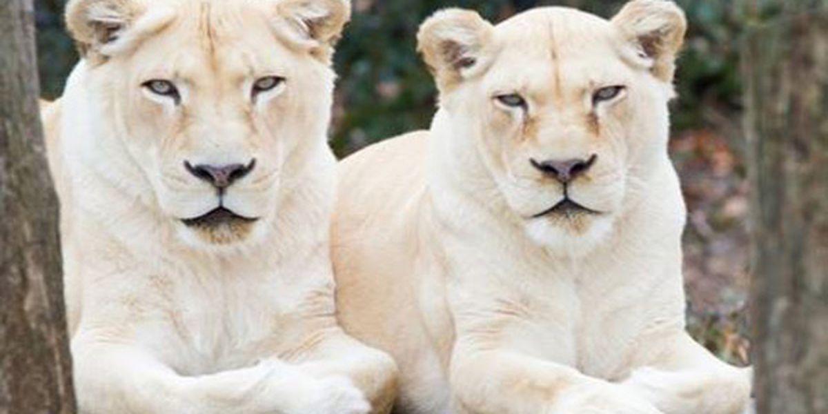 22-year-old white lion euthanized at Cincinnati Zoo & Botanical Garden