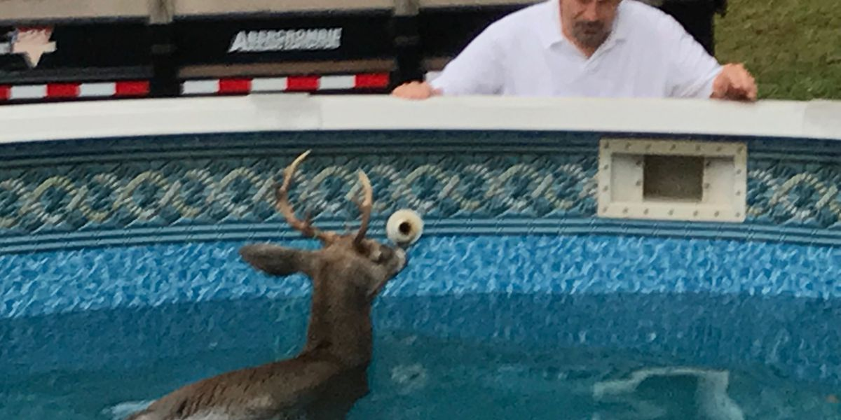 Deer rescued from pool in Springfield Township