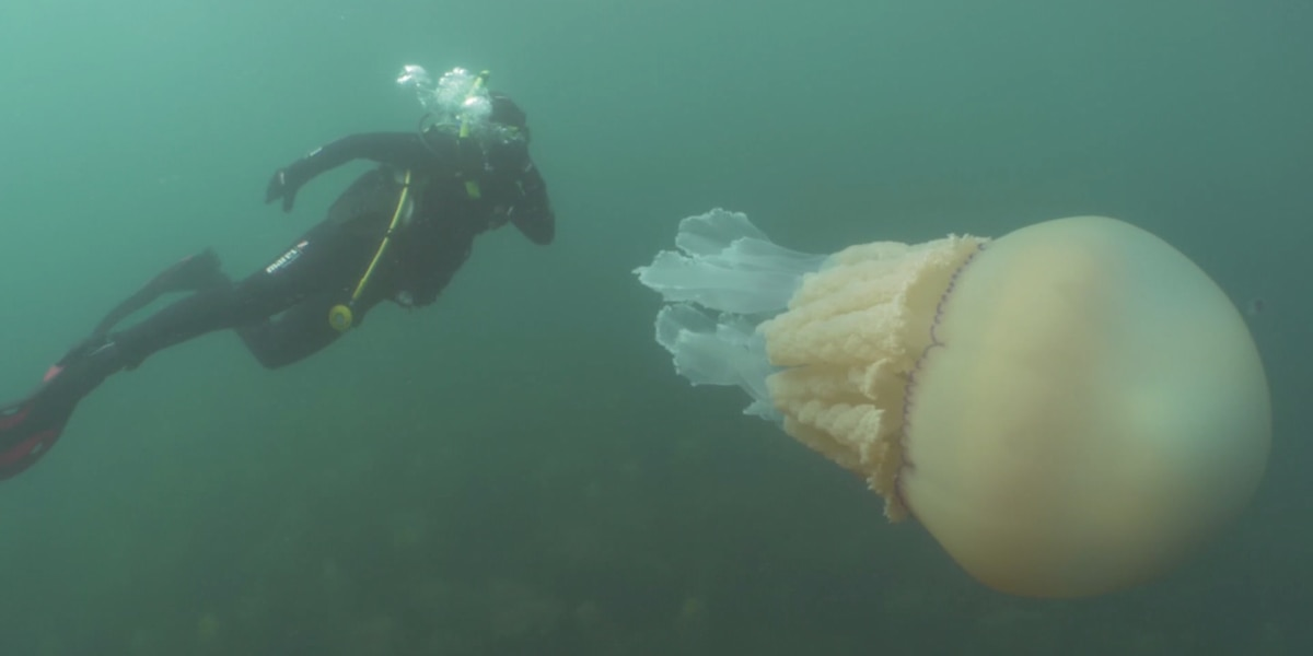 Human-sized jellyfish spotted off English coast