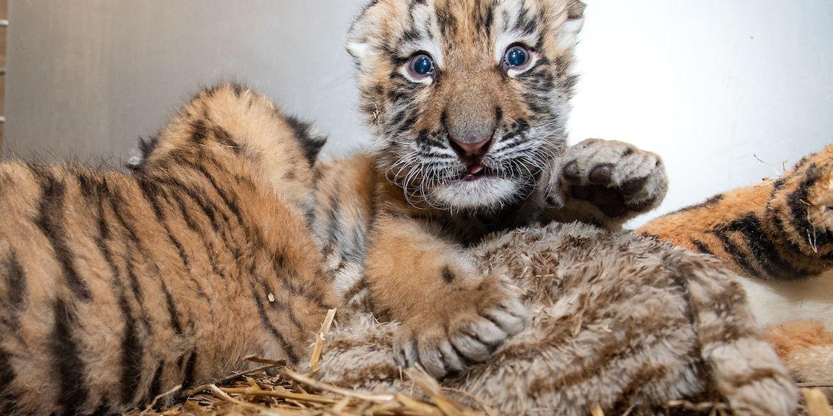 2 endangered tiger cubs born at Cleveland Metroparks Zoo