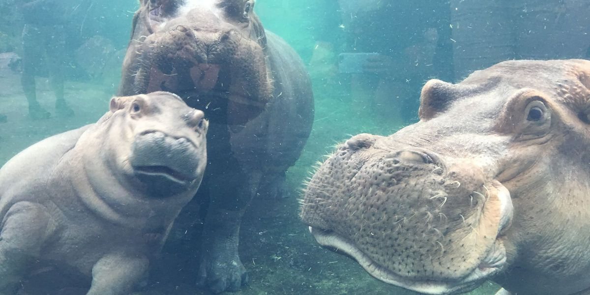VIDEO: Fiona hangs with hippo family for first time