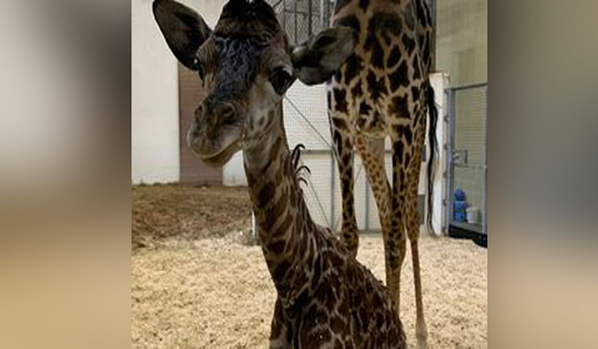 Cincinnati Zoo Announces Baby Giraffe S Gender