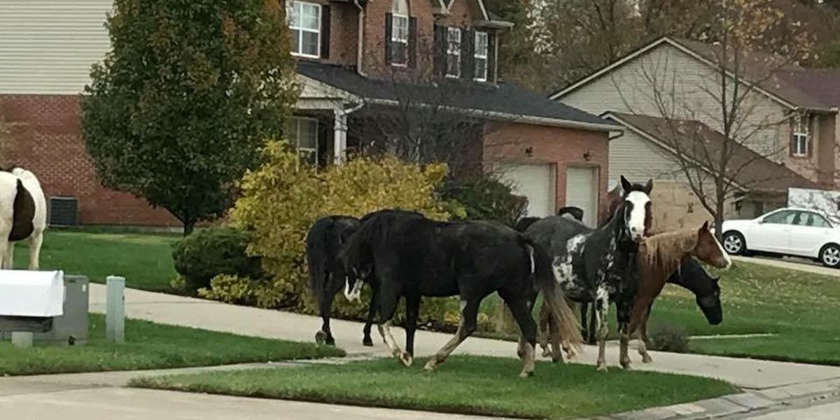 Horses rounded up and returned to Butler County farm