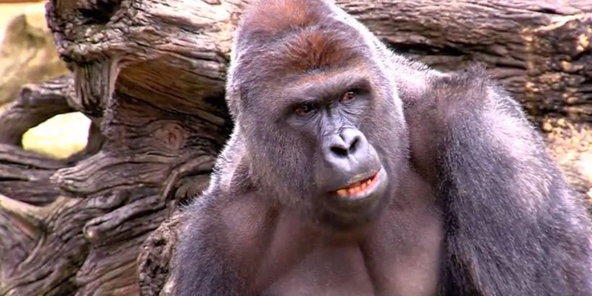Thursday marks 4 years since Harambe's shooting death at Cincinnati Zoo