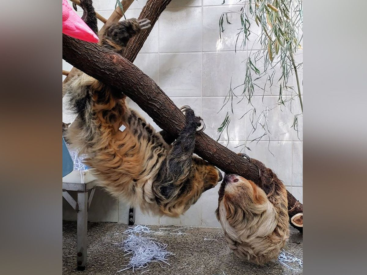 'Two-toed Moe' the sloth meets new girlfriend named Lightning at Cincinnati zoo