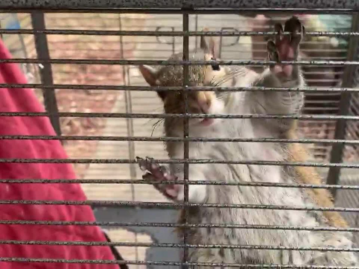 ATTACK SQUIRREL: North Alabama deputies rescue wild rodent