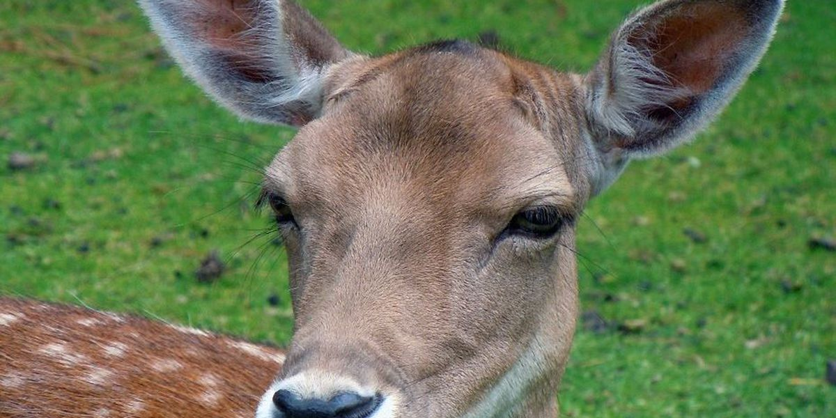 More than 50 deer sterilized, tagged in Clifton