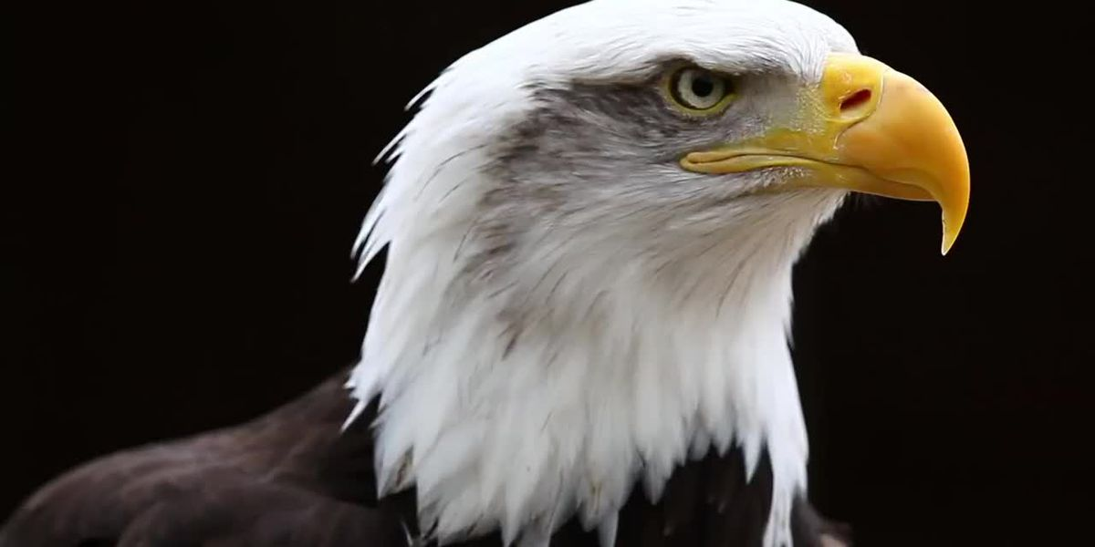 Bald eagles nest in Cleveland's Industrial Valley for the first time in over a century, marking major comeback in Northeast Ohio