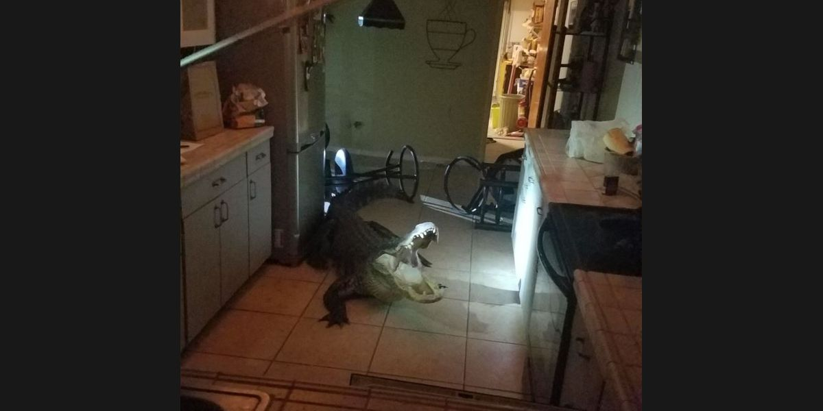 PICS: Florida homeowner wakes up to find enormous gator in their kitchen