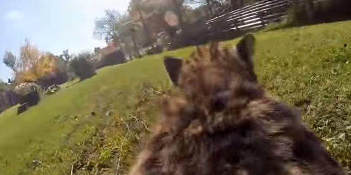 WATCH: Run with a cheetah at the Cincinnati Zoo