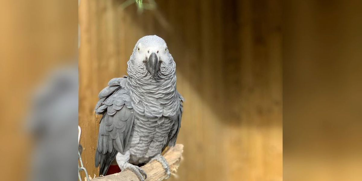 Gray parrots separated at zoo after swearing a blue streak
