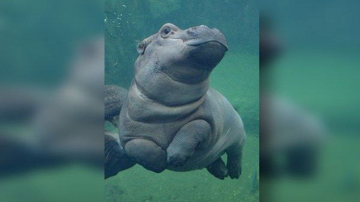 A hippo in Texas is madly in love with Fiona and he doesn't care who knows it