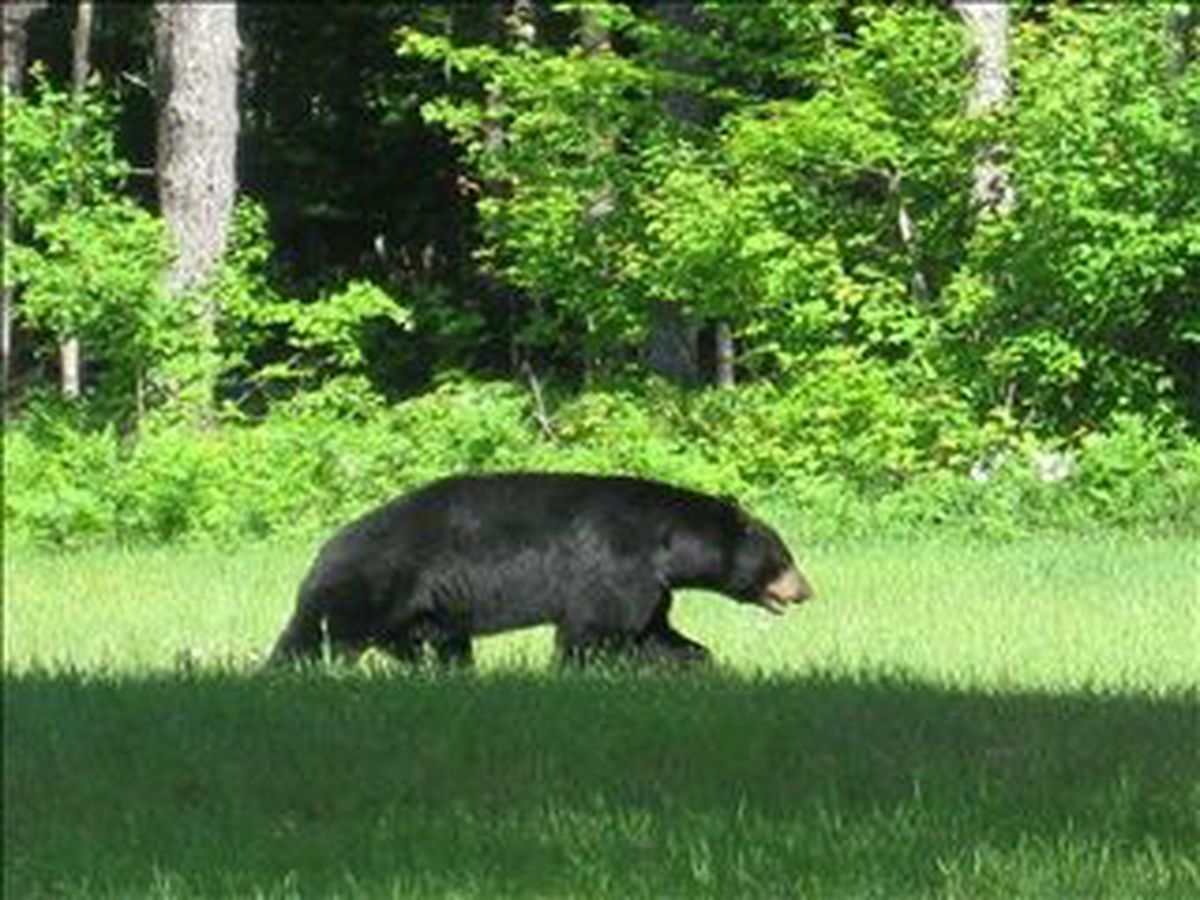 Vehicle hits black bear, officials warn drivers