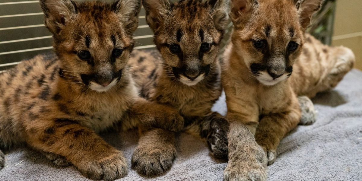 Ohio zoo to be new home for 3 mountain lion cubs rescued from California wildfires