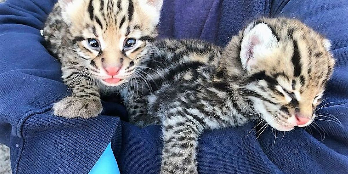Cincinnati Zoo scientists help produce endangered ocelot kittens