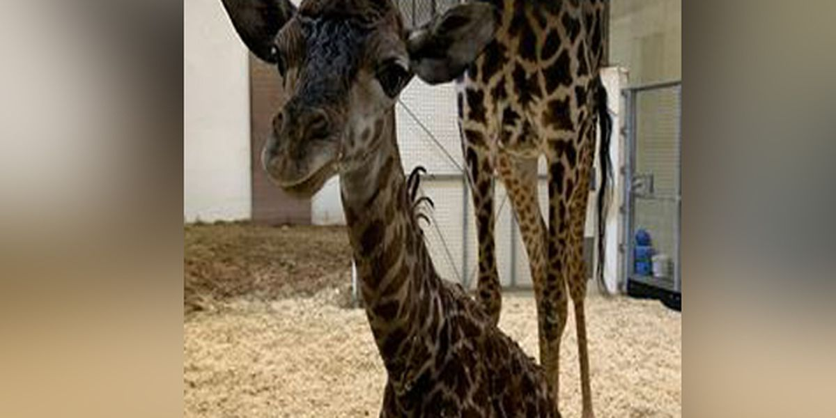 Cincinnati Zoo announces baby giraffe's gender