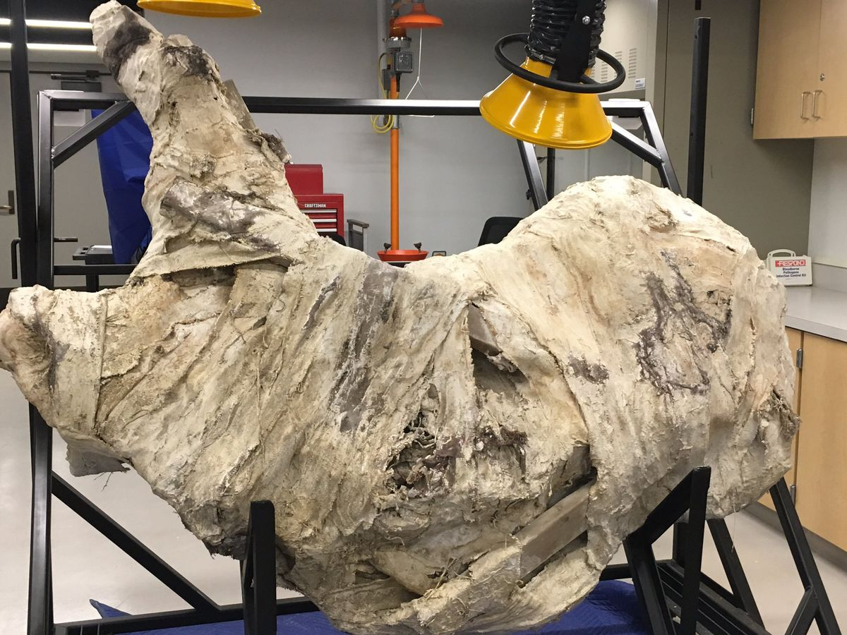 Triceratops skull exposed at Cincinnati Museum Center
