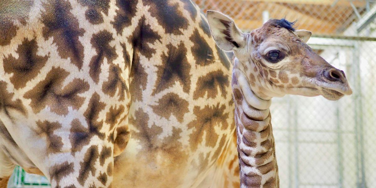 Welcome to the world! Cleveland Metroparks Zoo announces birth of giraffe calf