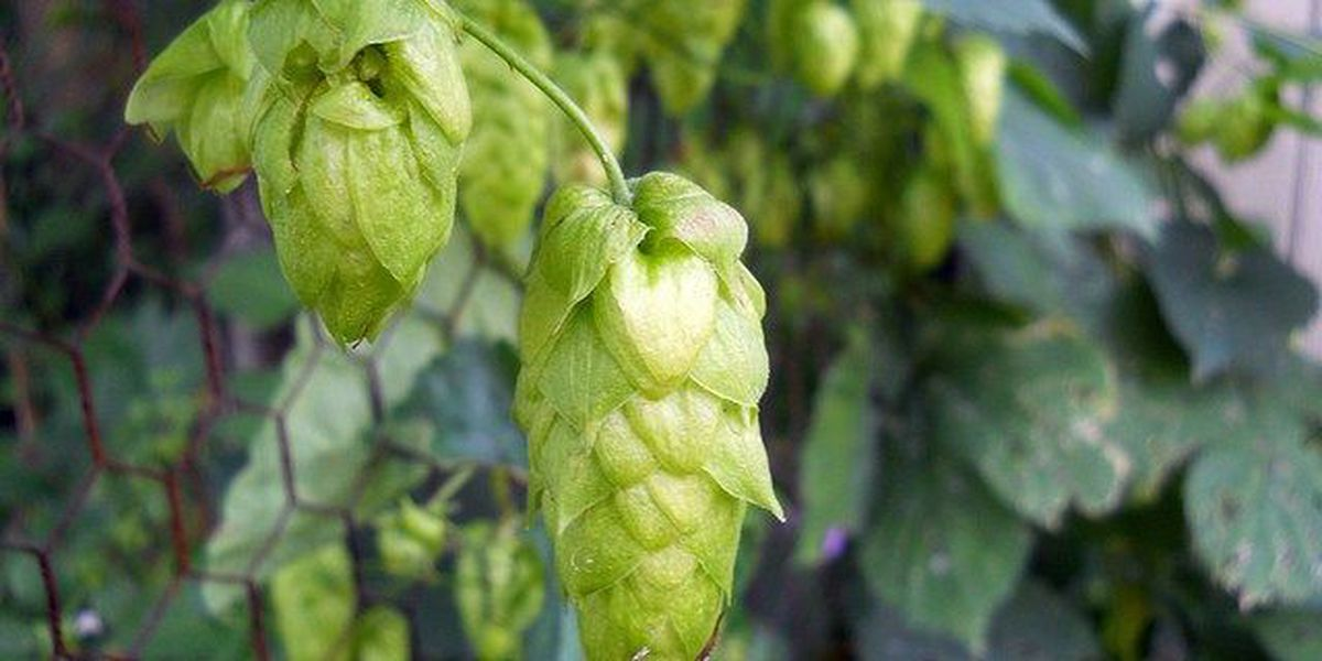 Kentucky wants to tap in to booming beer business by harvesting hops