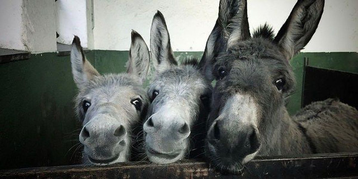 Donkeys invade GABP Saturday