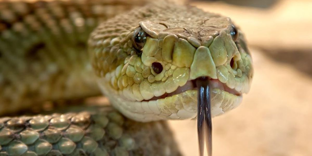 Snakes of Ohio: Identifying 3 venomous species