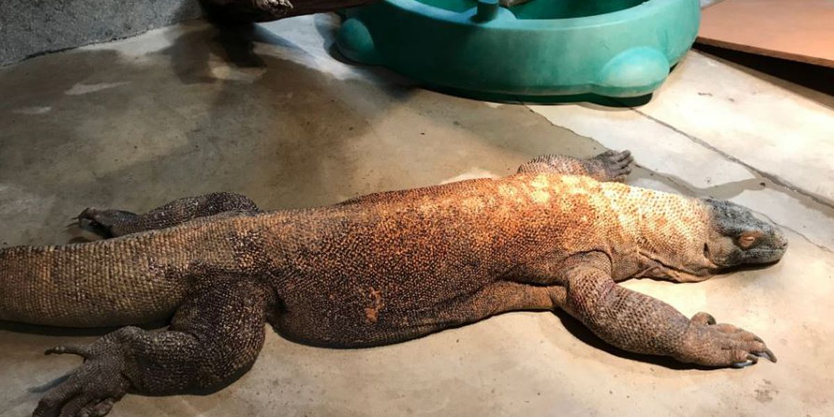 Cincinnati Zoo's Komodo dragon recovering after cataract surgery