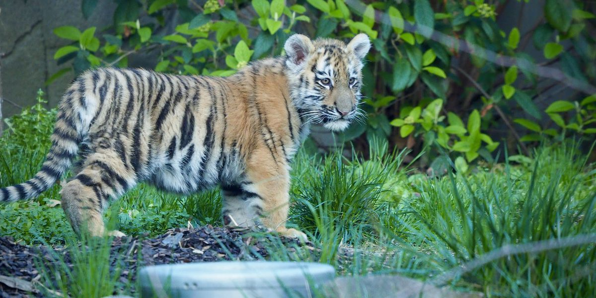 Tiger cubs make debut at Cleveland Metroparks Zoo