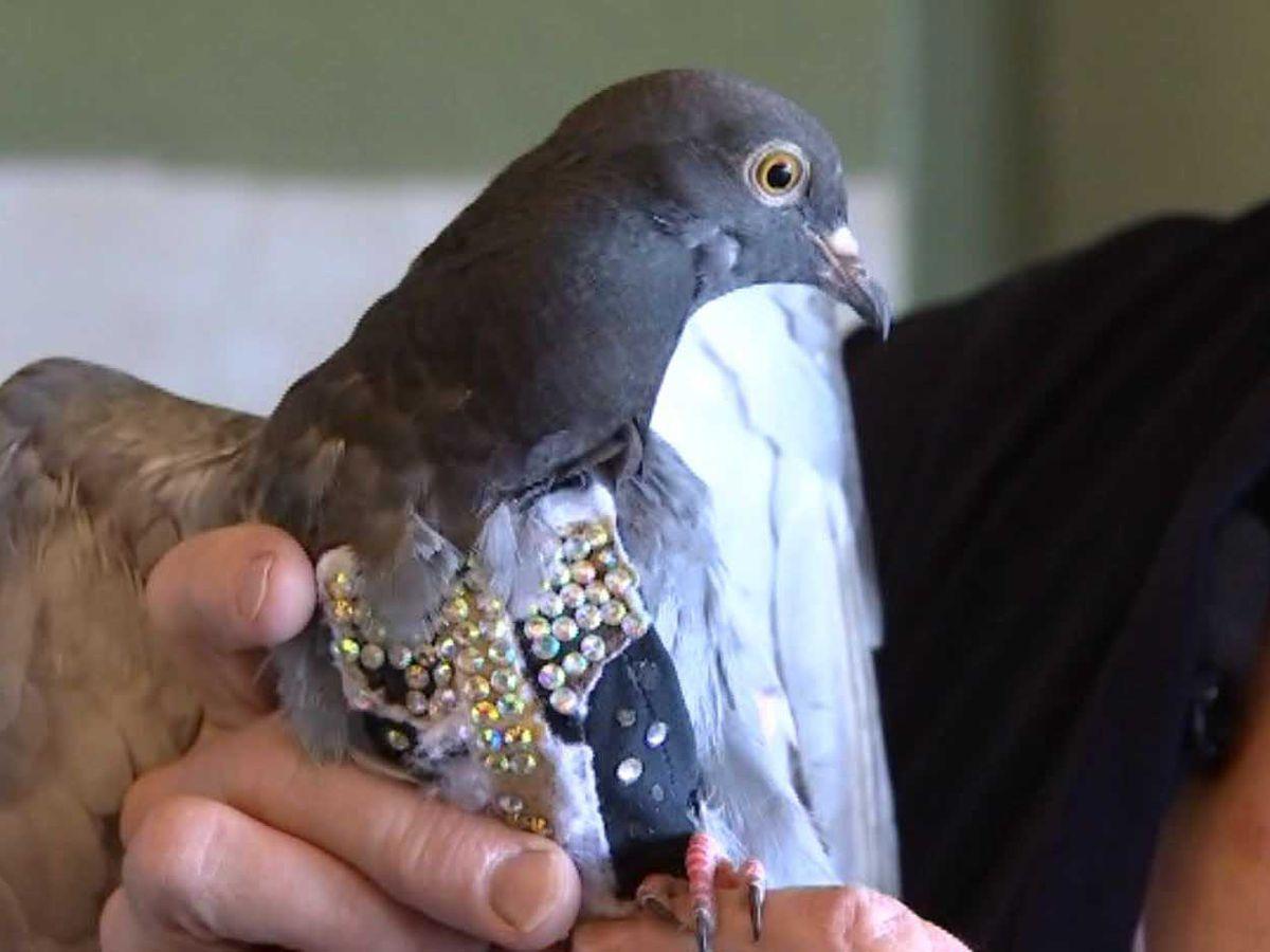 Rhinestone-wearing pigeon found in Arizona; search underway for owner