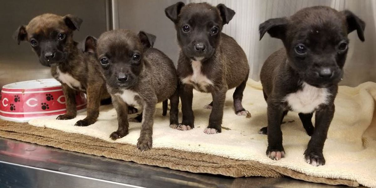 Neglected puppies recovering at NKY rescue