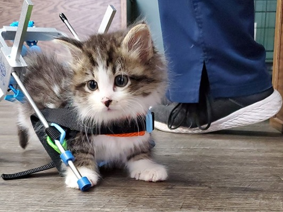 Partially paralyzed kitten gets a wheelchair
