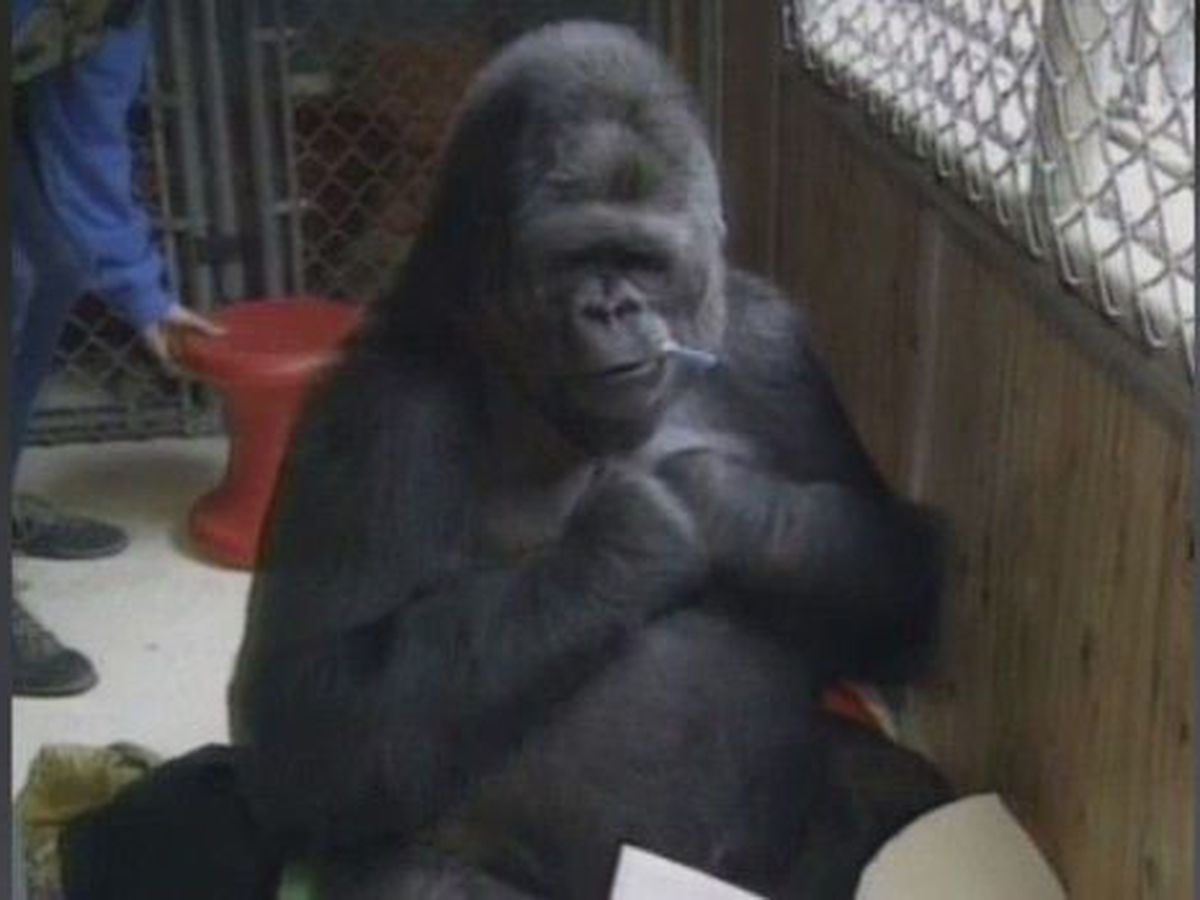 Judge: Solve dispute over pal to sign-language gorilla Koko