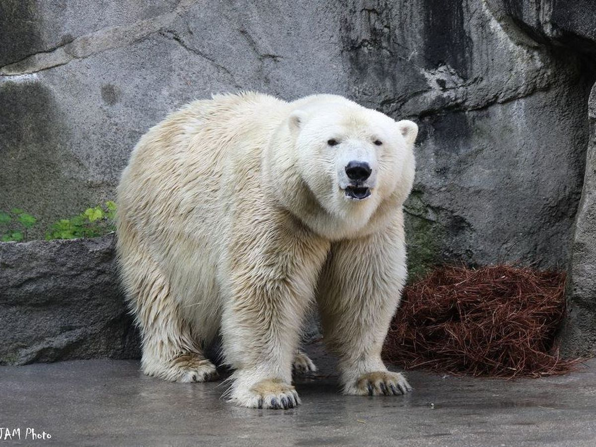Bear with us... Polar bear cubs not likely at Cincinnati Zoo
