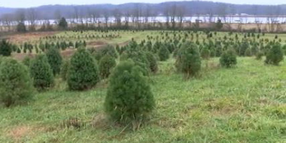 Weather impacts local Christmas tree farms