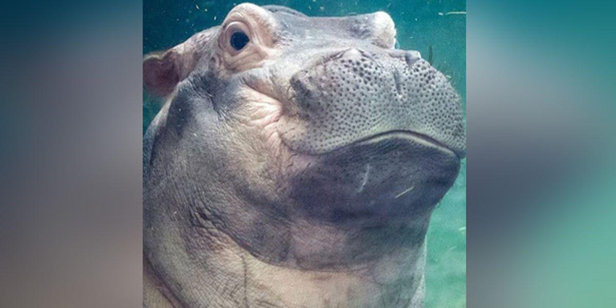Cincinnati Zoo holds Fiona Christmas book signing