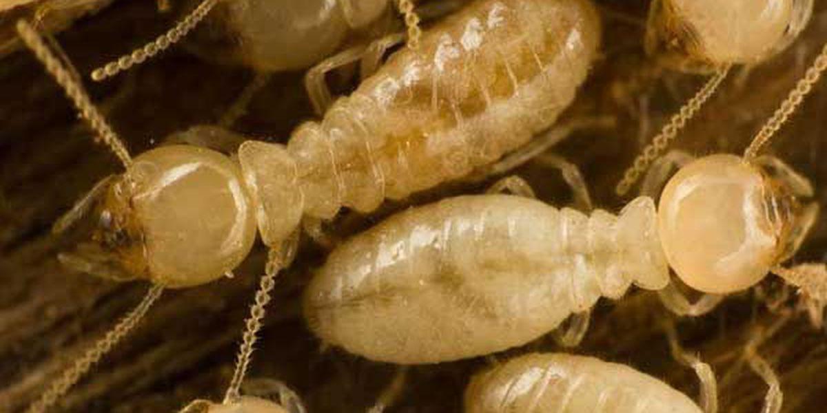 Termite Awareness Week, March 13-19