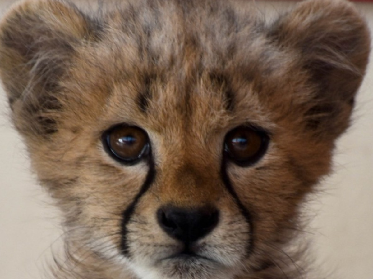 Cincinnati Zoo celebrating Kris the cheetah's birthday with virtual party