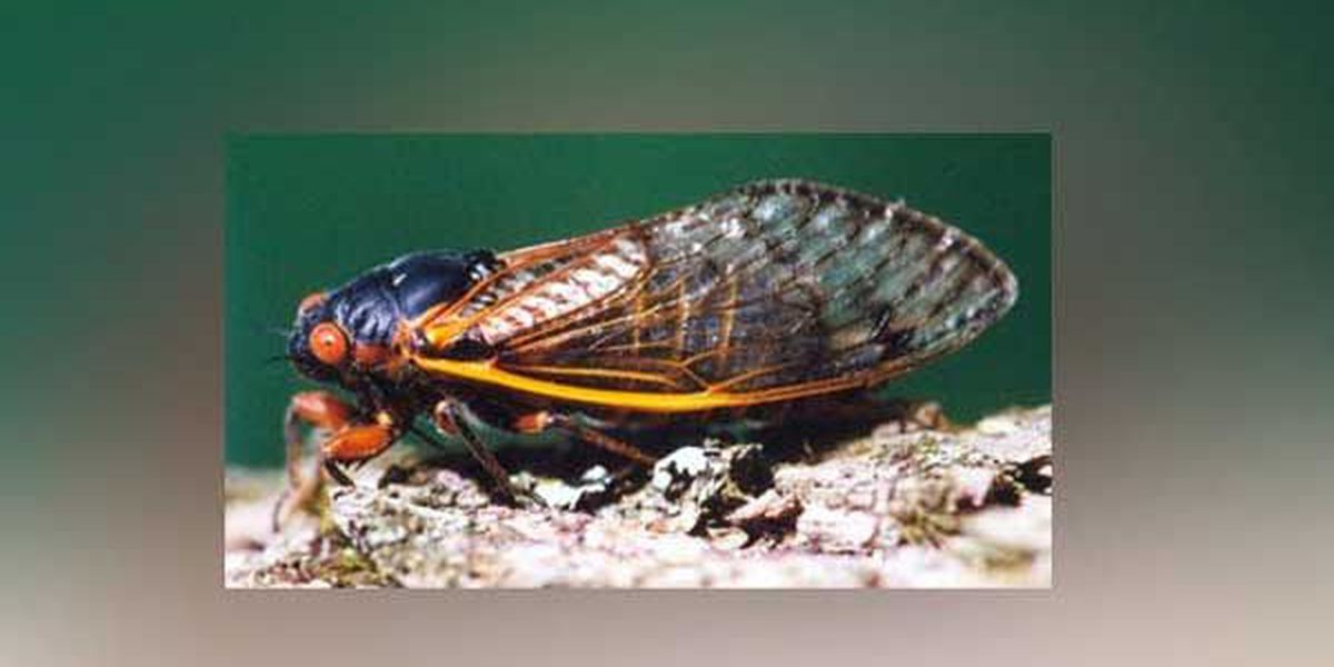 Cicadas make an early return to the Tri-State