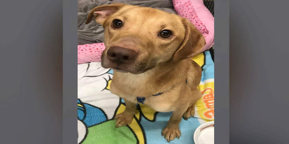Dog found malnourished in Middletown is ready for adoption