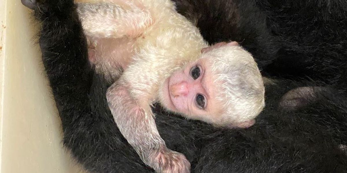 Zoo Babies celebration continues with newest arrival at the Cincinnati Zoo