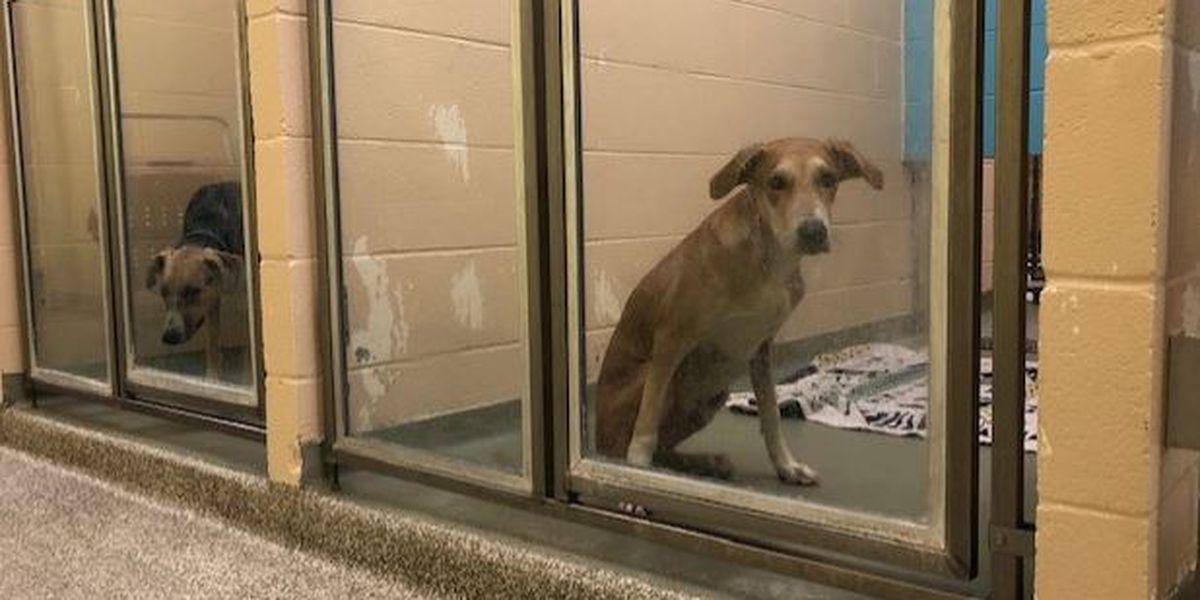 7 homeless dogs from St. Lucia arrive at SPCA Cincinnati