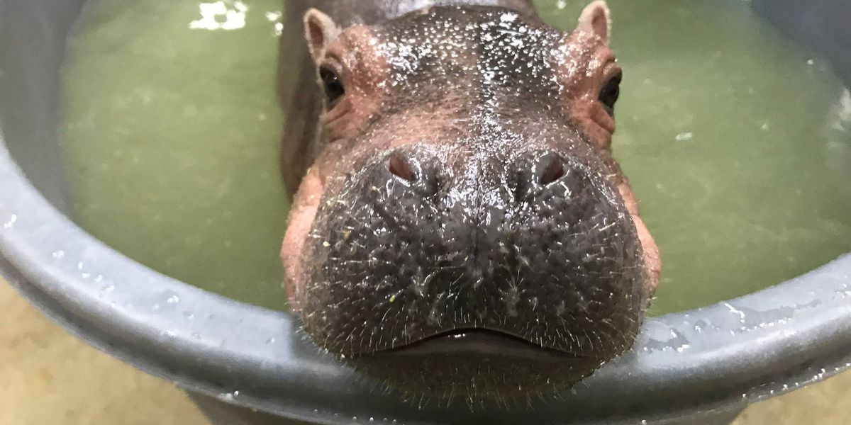 Have a slumber party with Fiona at the zoo