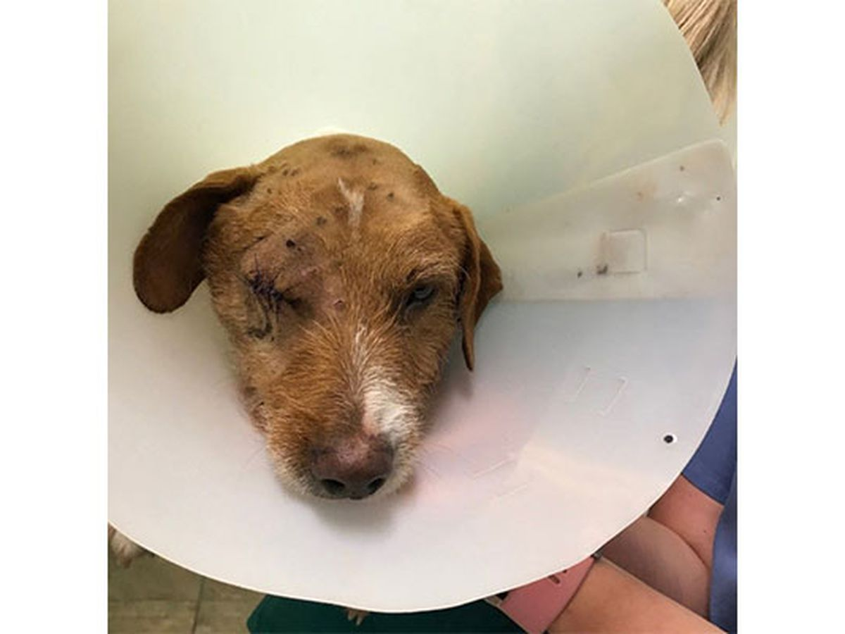 Dog tortured with BB gun, tied down and shot over 100 times at close range
