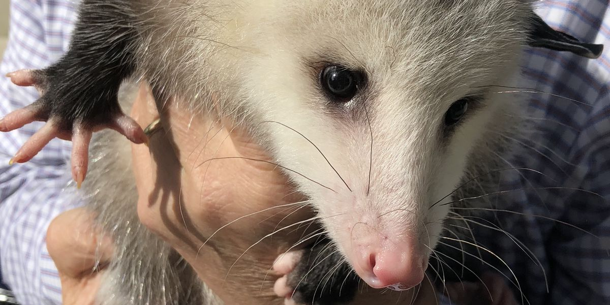 Stuffed 'Rally Possum' will be available at Sunday's Browns game