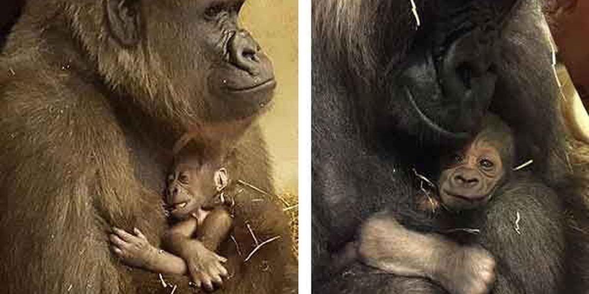 Baby gorilla makes debut at Cincinnati Zoo