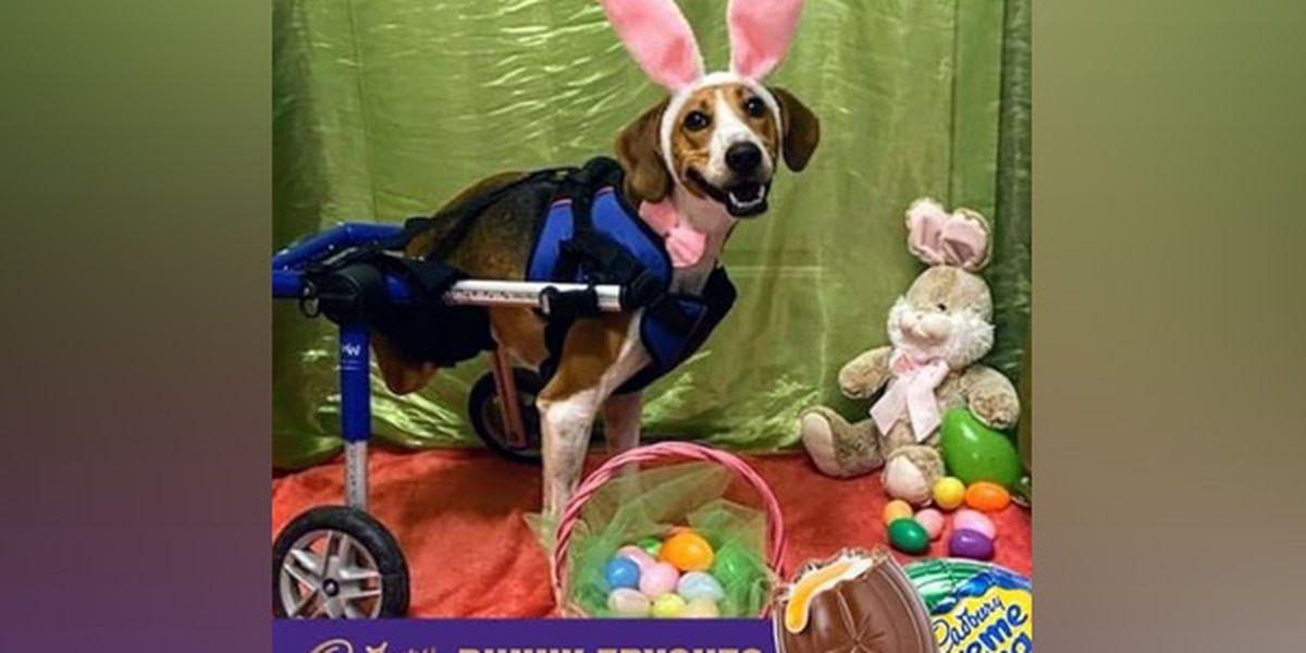 Inspiring 2-legged Ohio dog finalist to be next Cadbury Easter Bunny