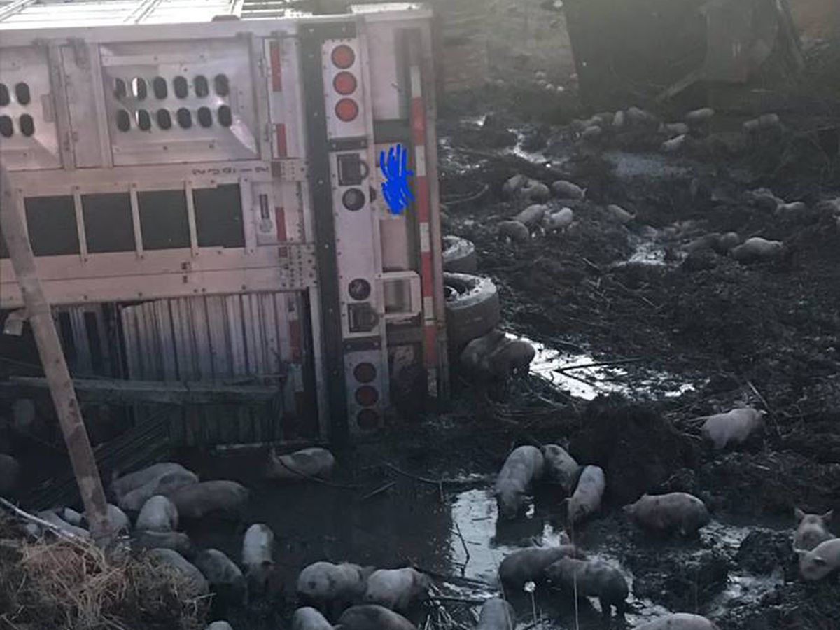 Nearly 3,000 piglets loose after crash in IL